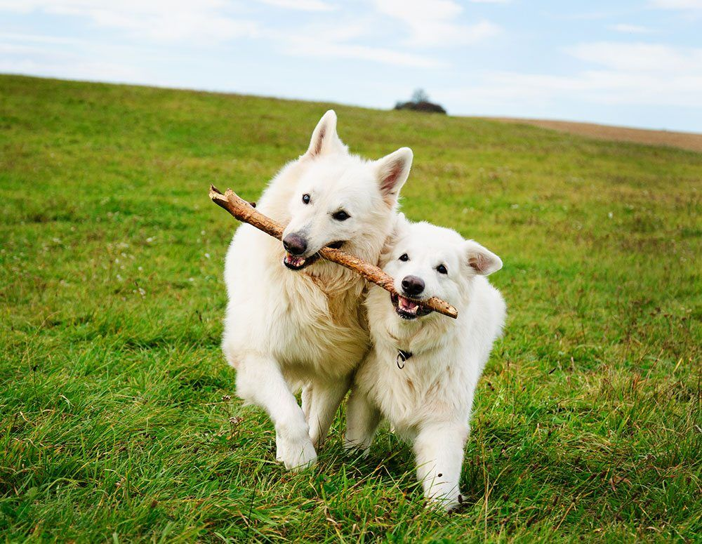 dogs and stick